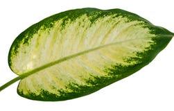 Exotisch patroon van het Weefsel van bladdieffenbachia stock foto