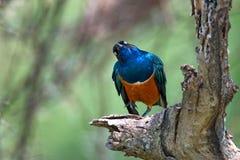 Exotische Afrikaanse vogel Royalty-vrije Stock Afbeeldingen