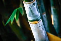 Exotische Bambusbetriebsschönes Farbgrün lizenzfreie stockfotografie
