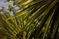 Exotische Baumblätter der grünen und gelben Palme, Abschluss oben Stockfoto
