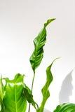 Exotische Betriebsweißer Hintergrund mit grünen Blättern Stockfotografie