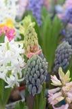 Exotische bläuliche Blume in Form einer Gruppe von Trauben Lizenzfreies Stockfoto