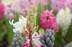 Exotische bläuliche Blume in Form einer Gruppe von Trauben Stockfotografie