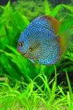 Exotische blaue Discusfische Stockfotos