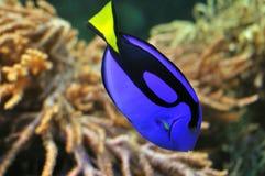 Exotische blauwe vissen in koraalrif Stock Afbeelding