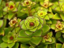 Exotische bloeiende cactus   Stock Afbeelding