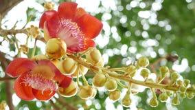Exotische bloemen en boom Gevaarlijke grote krachtige groene tropische salalanga bloeiende mooie sinaasappel van de boomkanonskog stock video