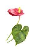 Exotische Blume - Blütenschweif watercolor Lizenzfreie Abbildung