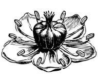 exotische Blumenmohnblume, Botanik Stockfoto