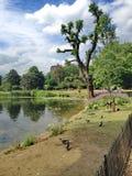 Exotische boom in het park Royalty-vrije Stock Fotografie