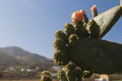 Exotische cactussenbloemen Stock Afbeelding