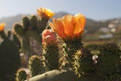 Exotische cactussenbloemen Royalty-vrije Stock Afbeelding