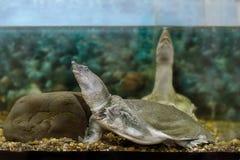 Exotische chinesische softshell Frischwasserschildkröte Stockbilder