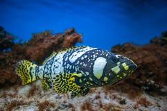 Exotische die vissen in aquarium worden geïsoleerd Royalty-vrije Stock Foto's