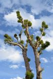 Exotische eucalyptus in grote immens van stadsjeruzalem Royalty-vrije Stock Foto's