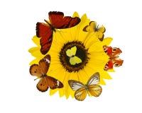 Exotische farbige butterfiles auf Sonneblumenblüte Stockbilder