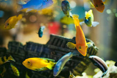 Exotische Fische Aquarium Cichlid Menge Seeder gelb-orangeen Fischschwimmens im Aquarium Lizenzfreies Stockbild