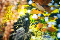 Exotische Fische Aquarium Cichlid Menge Seeder gelb-orangeen Fischschwimmens im Aquarium Stockbilder