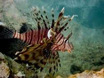 Exotische Fische auf Rotem Meer Stockbild