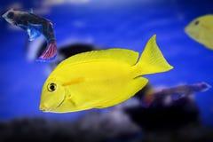 Exotische Fische des zwergartigen Engelhais färben Tieraquarium watter der wild lebenden Tiere gelb Lizenzfreies Stockfoto