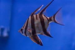 Exotische Fische im Aquarium Lizenzfreie Stockfotos