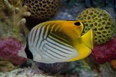 Exotische Fische im Becken lizenzfreies stockfoto
