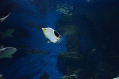 Exotische Fische im Fotobild des blauen Wassers stockfotos