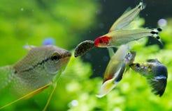 Exotische Fische im Frischwasseraquarium Stockfotografie