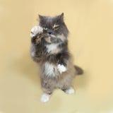 Exotische flaumige Katze sitzt auf Gelb Lizenzfreie Stockbilder