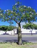 Exotische flessenboom met mooie witte bloemen stock afbeeldingen