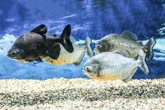 Exotische Frischwasserfische im Aquarium lizenzfreie stockbilder
