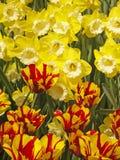Exotische gekleurde tulpen en narcissen stock afbeelding
