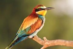 Exotische gekleurde vogel in de stralen van de zon Royalty-vrije Stock Afbeelding