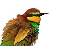 Exotische gekleurde vogel die op een witte achtergrond wordt geïsoleerd Royalty-vrije Stock Afbeelding