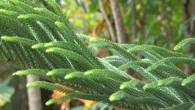 Exotische grüne Blätter tropischer Kiefer Araukarie Grünes Laub einer fraser Tannenanlage stock video footage