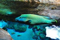Exotische grote vissen stock fotografie