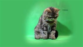 Exotische kat op een groene achtergrond stock videobeelden