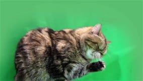 Exotische kat op een groene achtergrond stock footage