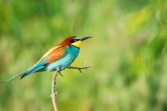 Exotische kleurrijke tropische vogel Stock Afbeelding