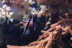 Exotische korallenrote Fische Lizenzfreie Stockbilder