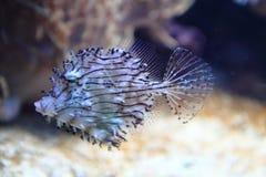 Exotische korallenrote Fische Lizenzfreie Stockfotografie
