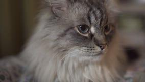 Exotische Neva Masquerade Siberian-Katze mit blauen Augen stellen nah oben gegenüber - zu Hause entspannend mit einer Tablette,  stock video