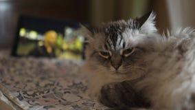 Exotische Neva Masquerade Siberian-Katze mit blauen Augen stellen nah oben gegenüber - zu Hause entspannend mit einer Tablette,  stock video footage