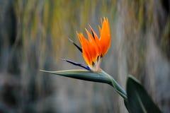 Exotische oranje installatie in botanische tuin stock foto