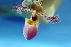 Exotische Orchidee op blauwe horizon Royalty-vrije Stock Foto