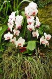 Exotische orchideeinstallatie Stock Foto