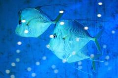 Exotische overzeese vissen Stock Foto