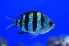Exotische overzeese vissen Royalty-vrije Stock Fotografie