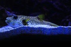 Exotische overzeese vissen Royalty-vrije Stock Foto