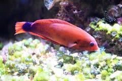 Exotische overzeese vissen Stock Fotografie